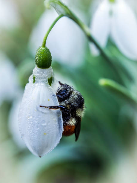 bumblebee on snow drop blossom - naturediver stock pictures, royalty-free photos & images