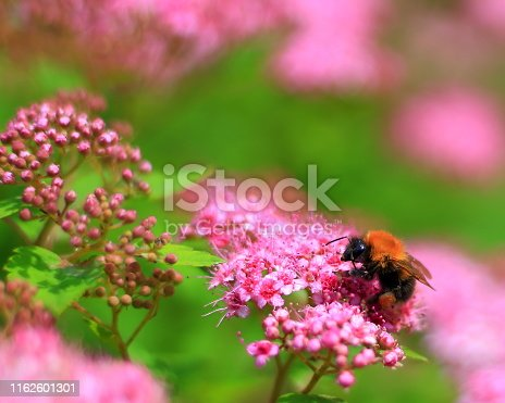 Natural background with bumblebee collecting pollen from pink flowers of Spirea Japanese. Defocused floral background. Picturesque spring scene. Selective focus, Shallow DOF