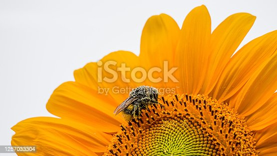 Bumblebee pollinating on sunflower with white background. One bumble bee. bumble-bee. humble-bee on Helianthus in Switzerland.Bumblebee pollinating on sunflower with white background. One bumble bee. bumble-bee. humble-bee on Helianthus in Switzerland.