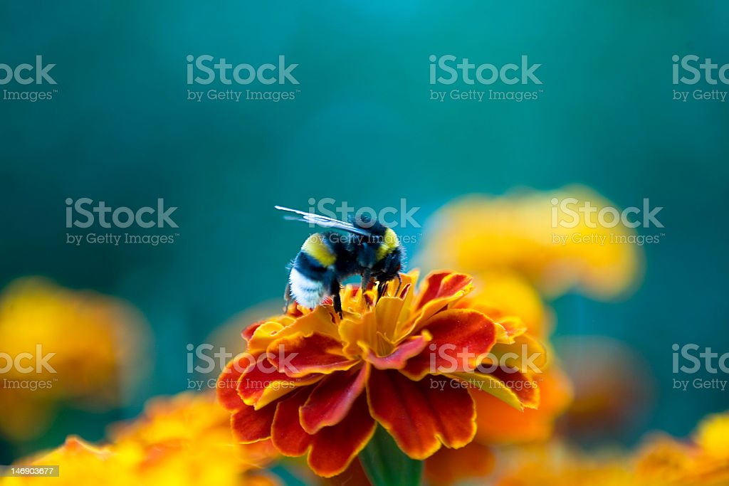 Bumblebee on the flower collecting nectar stock photo