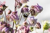 マルハナバチの花