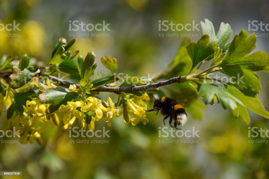 Bumblebee on the flowers of golden currant stock photo