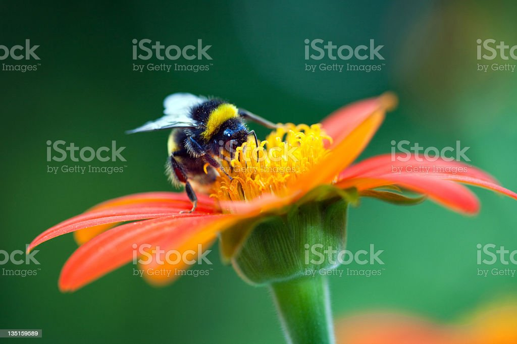 Bumblebee on the red flower stock photo