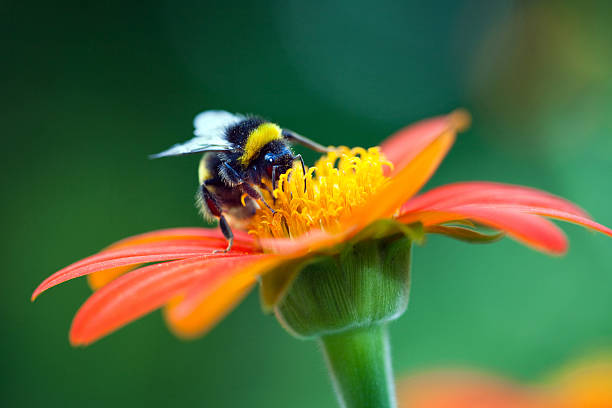 bumblebee on the red flower - bumblebee stock pictures, royalty-free photos & images
