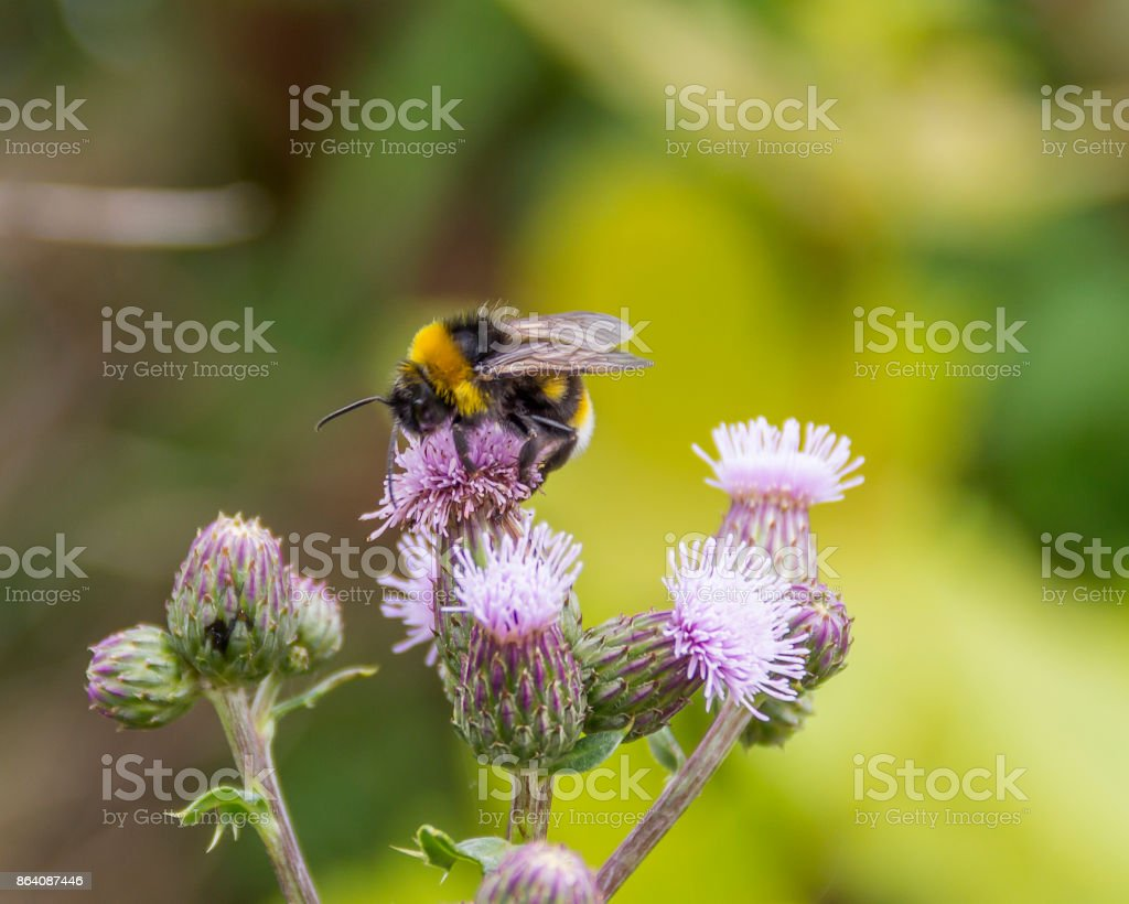 Bumblebee on thistle flower stock photo