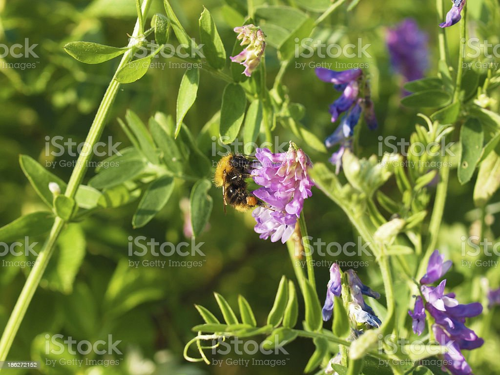 bumblebee on vicia cracca royalty-free stock photo