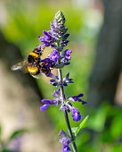 Bumblebee or big bee collects nectar from a purple flower in bright sunny day on blurred background. Bumblebee takes wing. Pollination of plants, the life of insects in their natural habitat.