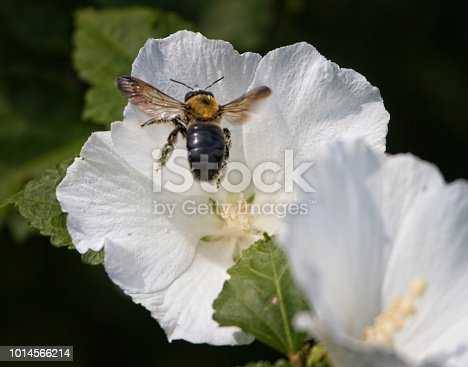 Bumblebee collecting pollen from a rose of Sharon. Here its landing.