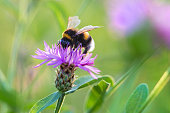 Bumble bee (Bombus lucorum) or white-tailed bumblebee on a purple flower.