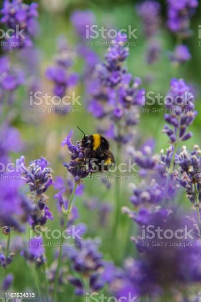 Photo of Bumblebee