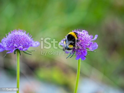 Bumblebee on a alpine purple flower