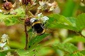 istock Bumblebee 1257808202