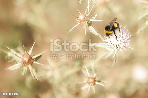 Honey bee is collecting pollen on a blossoming apple tree against blurred background