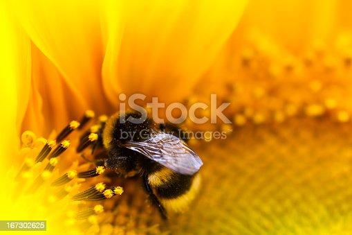 Bumblebee on sunflower.