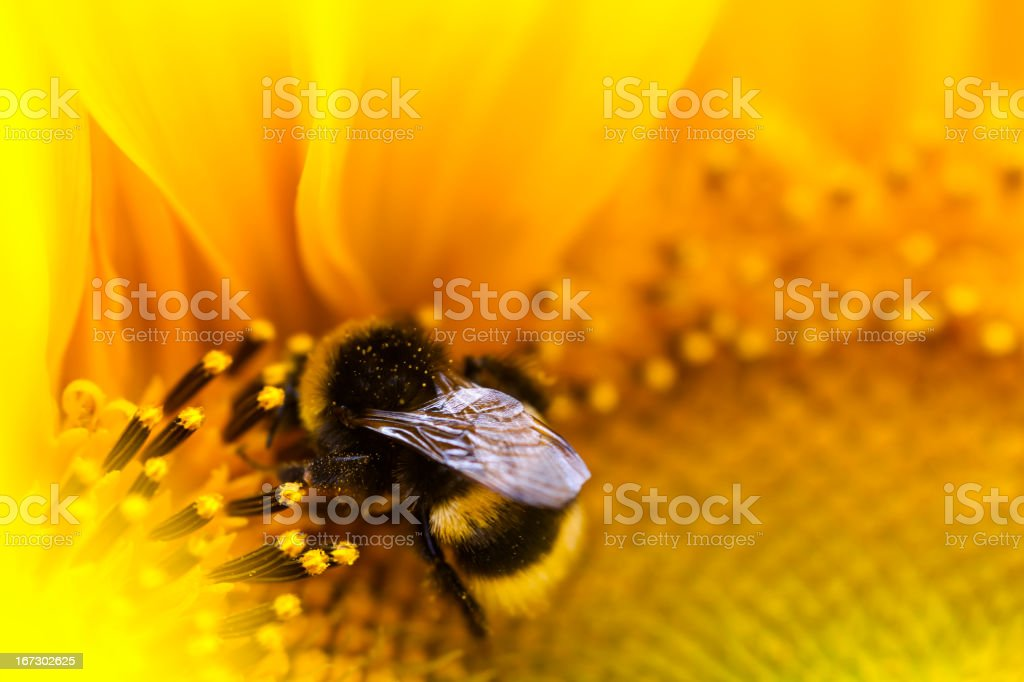 Bumblebee. stock photo