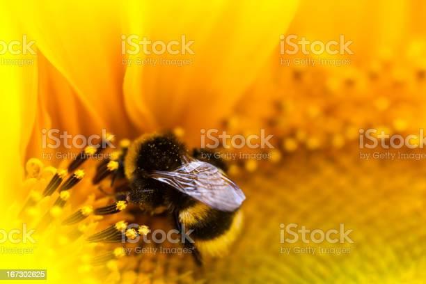 Photo of Bumblebee.