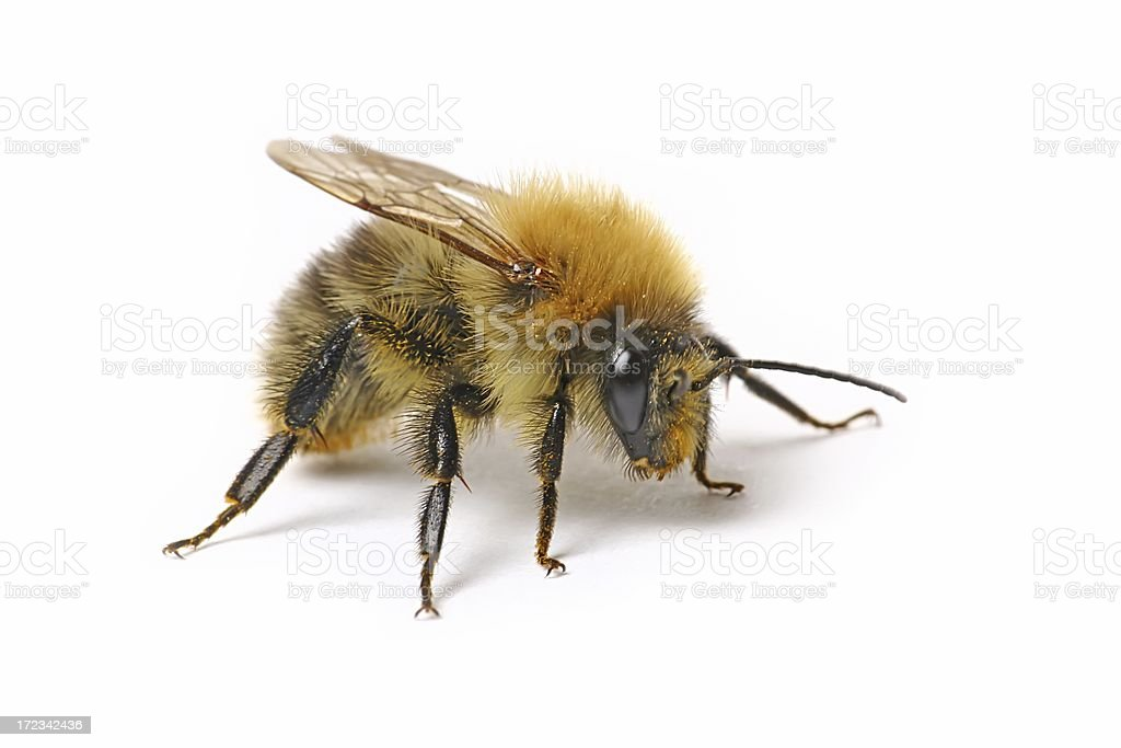 Bumblebee (isolated) royalty-free stock photo