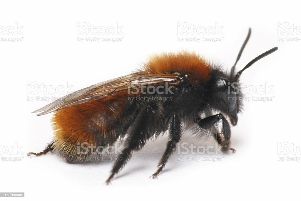 Bumblebee (isolated) royalty-free stock photo
