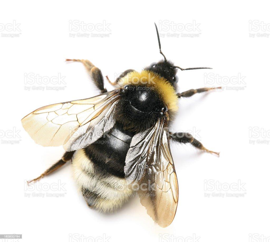 bumblebee royalty-free stock photo