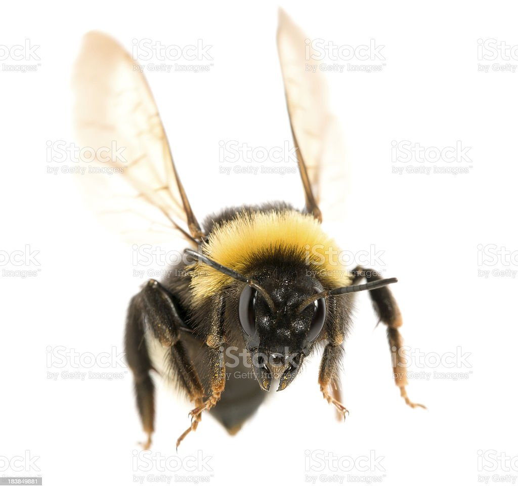 bumblebee stock photo