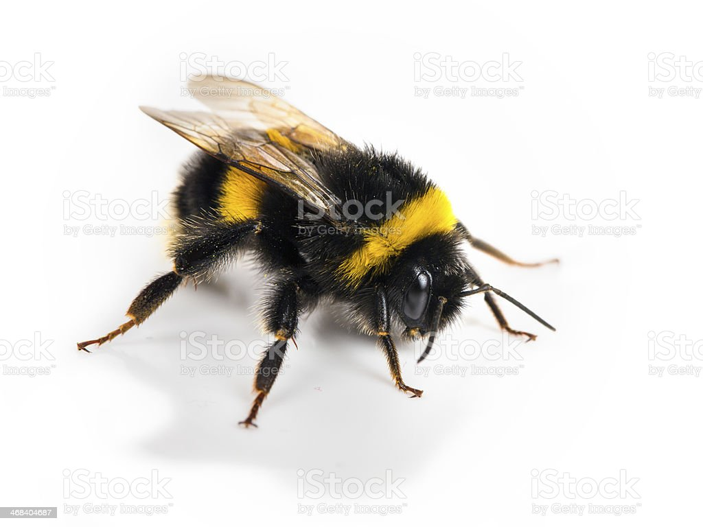Bumblebee Stock Photo & More Pictures of Aggression | iStock