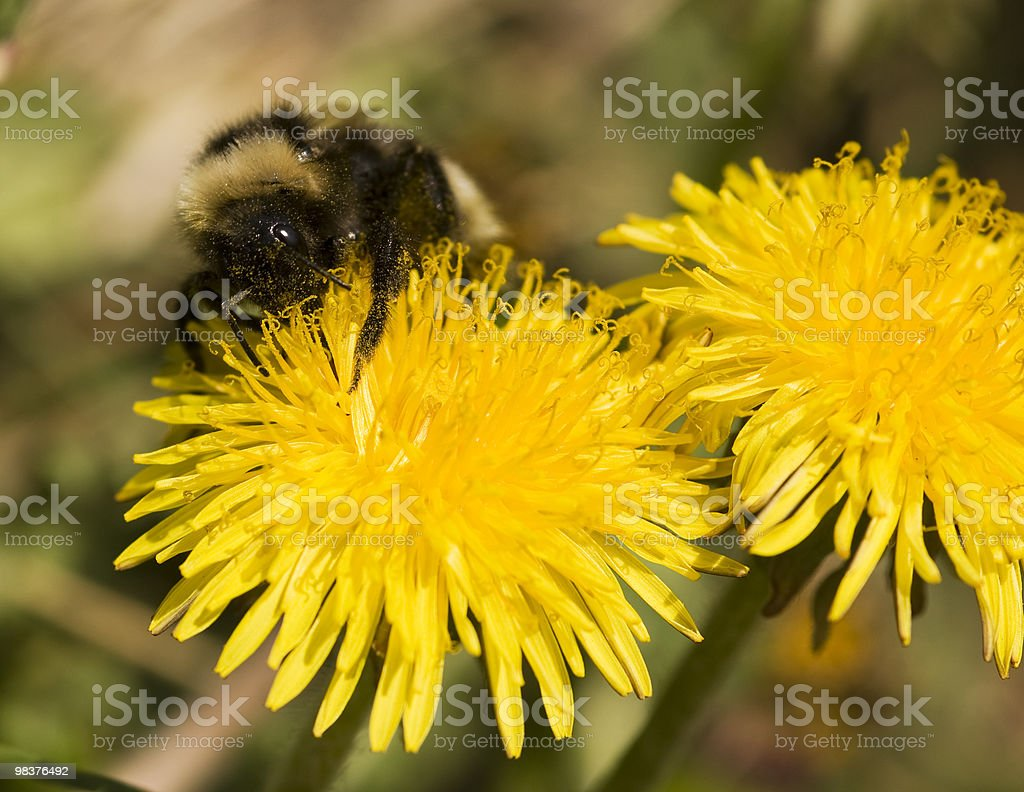 Bumblebee. royalty-free stock photo
