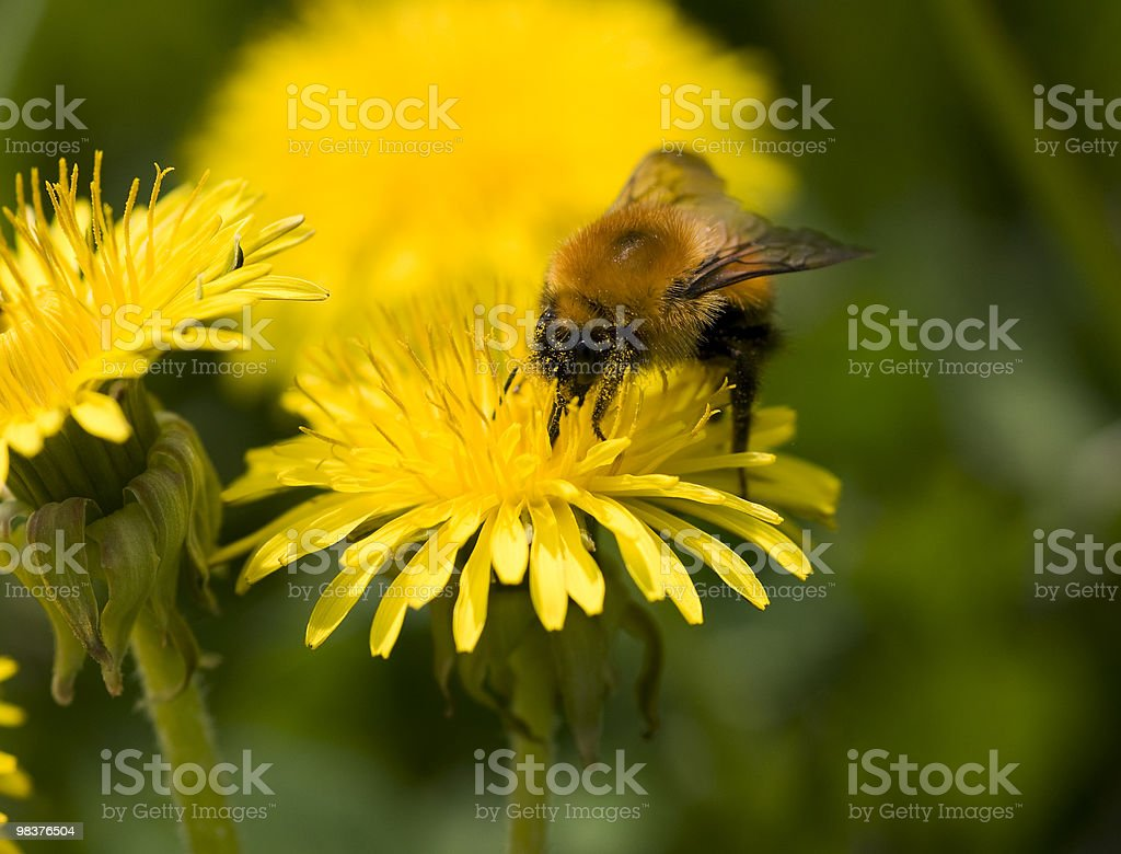 Bumblebee. royalty-free stock photo