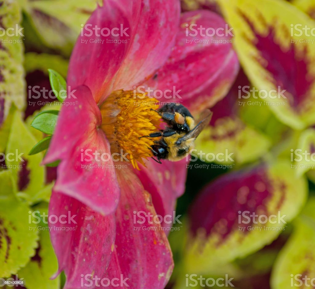 bumblebee pink flower new york royalty-free stock photo
