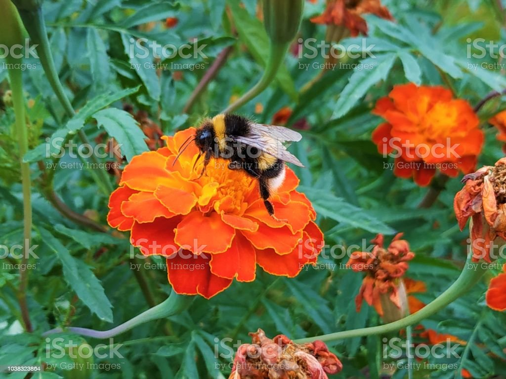 A bumblebee pollenizing an orange Tagetes blossom stock photo