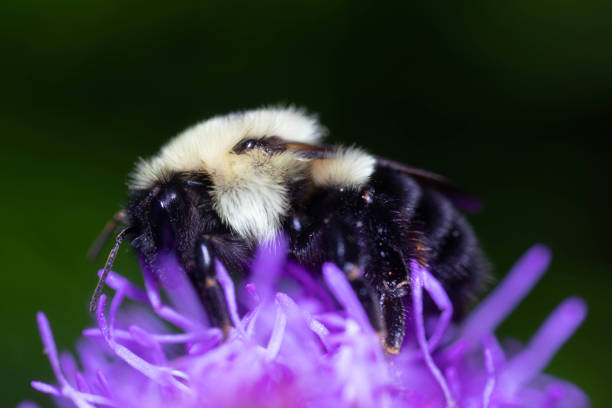 Bumblebee Pollinating a Flower stock photo