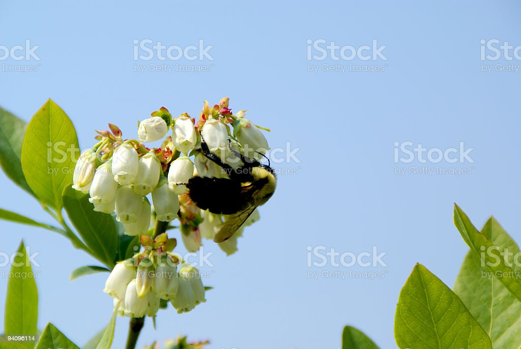 Bumblebee Pollinating Blueberry Blossoms stock photo