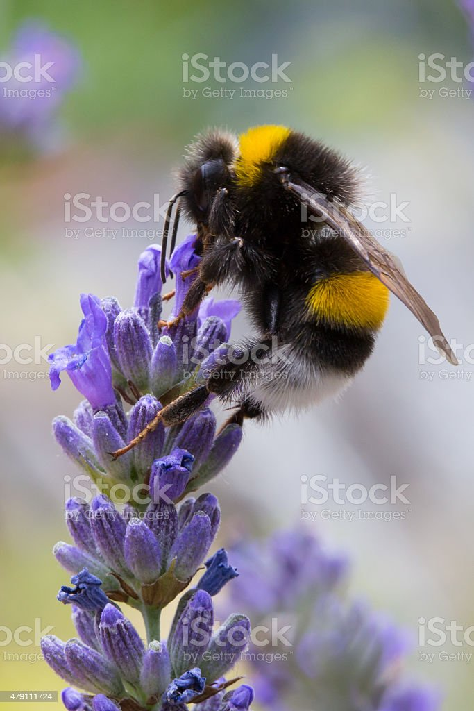 Bumblebee pollinating lavender flower stock photo