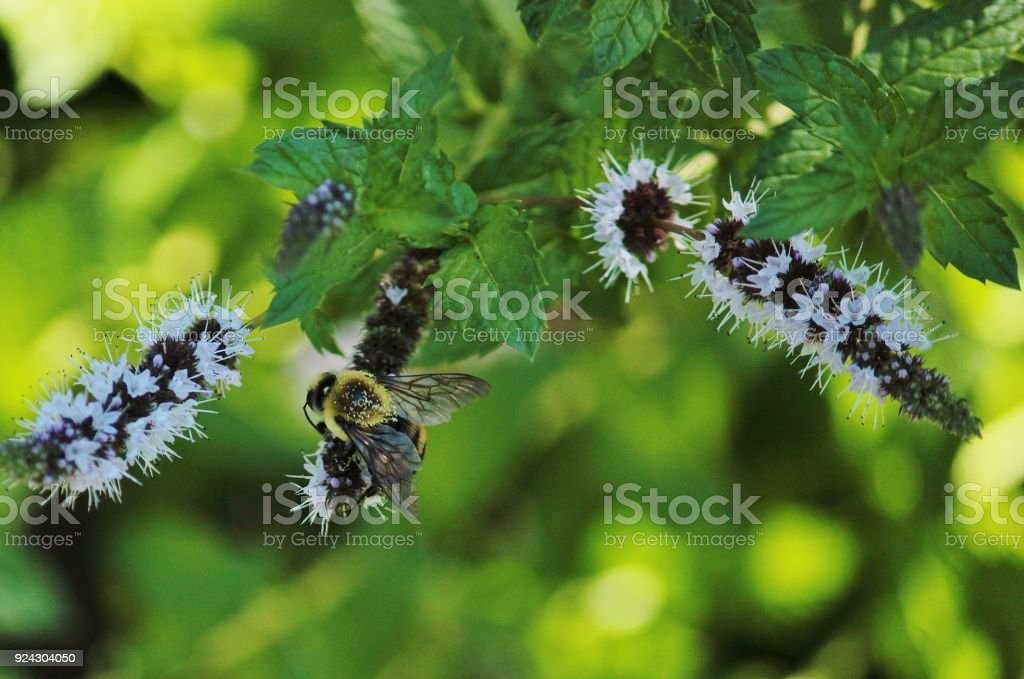 Bumblebee pollinating some mint flowers in the shadow stock photo