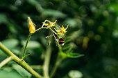 温室トマトに植えられた茂みの花を作るバンブルビー受粉