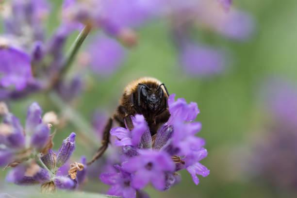 Bumblebee Standortwahl auf Lavendel-Blüte – Foto