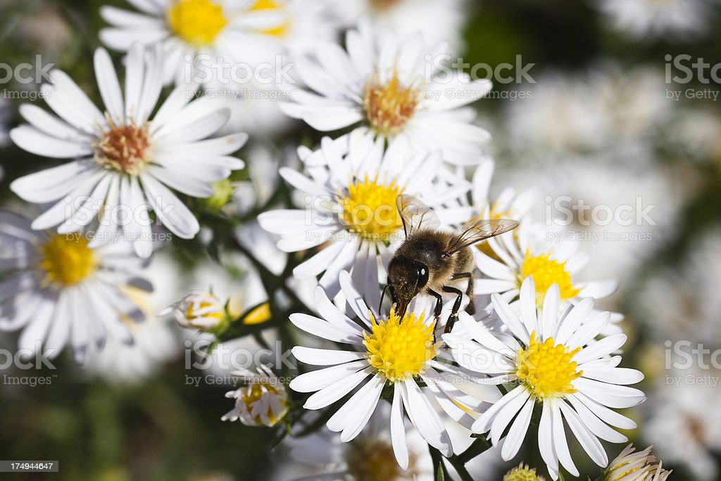 Bumblebee sucking nectar royalty-free stock photo