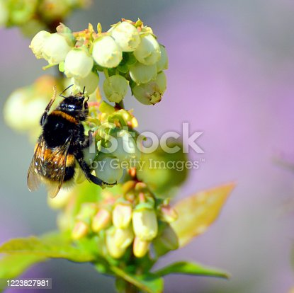 Pollinating Highbush Blueberries. Each flower must be visited once by a bumble bee to get enough pollen so that berries will grow to maximum size.
