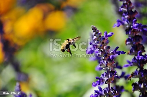 Bumblebee with pollen sac flying toward blue lavender flower.