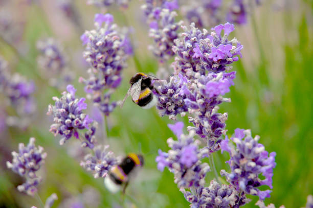bumblebees flying and pollinating creeping thyme flower - calabrone ape foto e immagini stock
