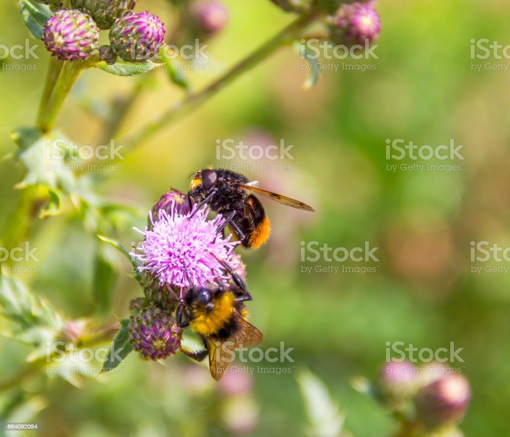Bumblebees on thistle flower stock photo