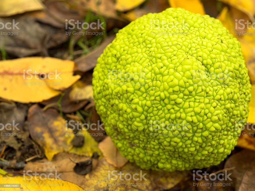 Bumpy Texture of a Hedge Apple on the Ground stock photo