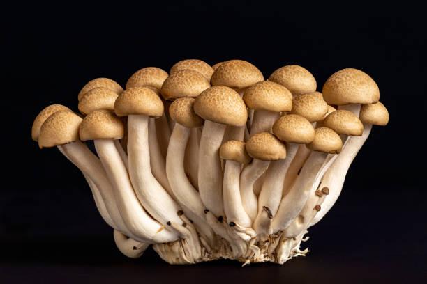 Buna-shimeji, or Japanese brown beech mushrooms over a black background. stock photo