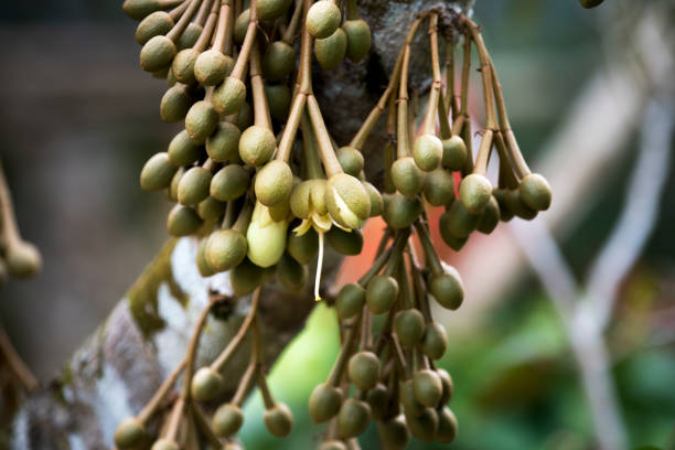 bunch buds and durian flowers stock photo