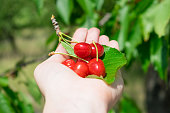 Bunch cluster of ripe red cherries and green leaves in female palm, hand. Cherry tree in the summer sunny garden. Selective focus