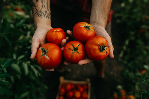Male hands holding isolated tomatoes in a natural garden.