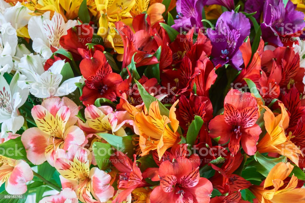 Bunch of alstroemeria stock photo