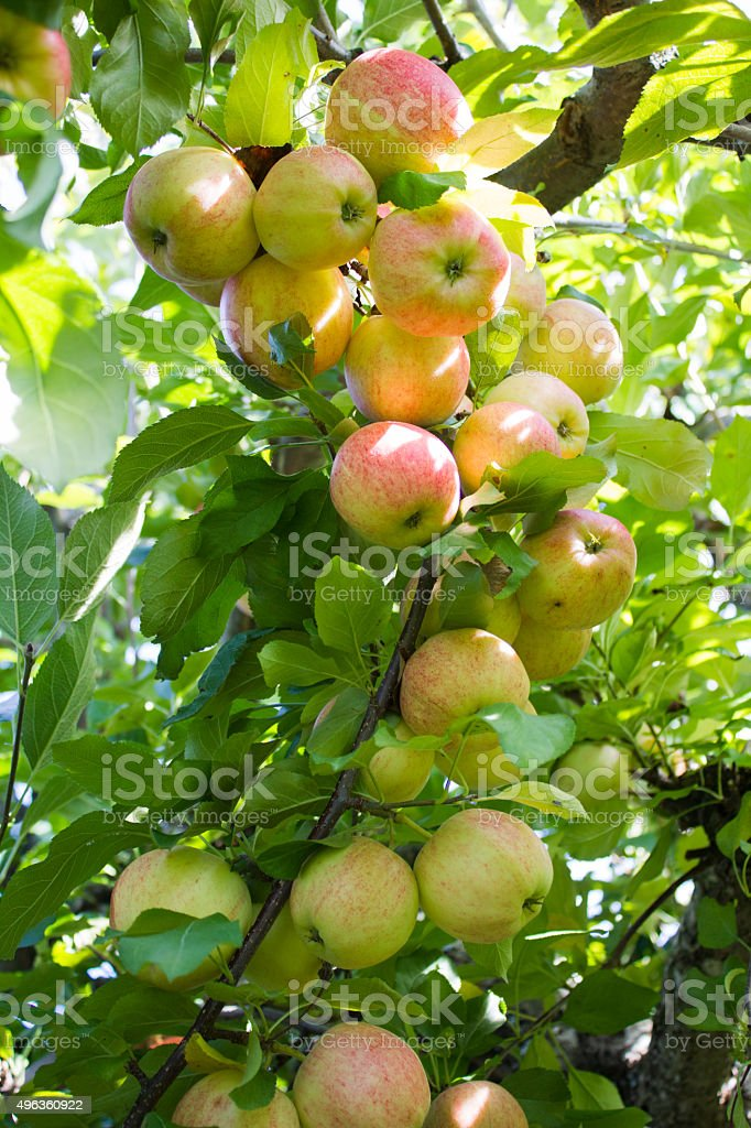Bunch of Apples on a Branch stock photo