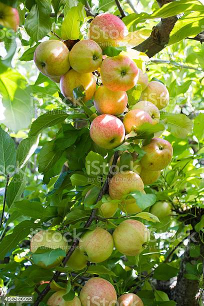 Bunch Of Apples On A Branch Stock Photo - Download Image Now