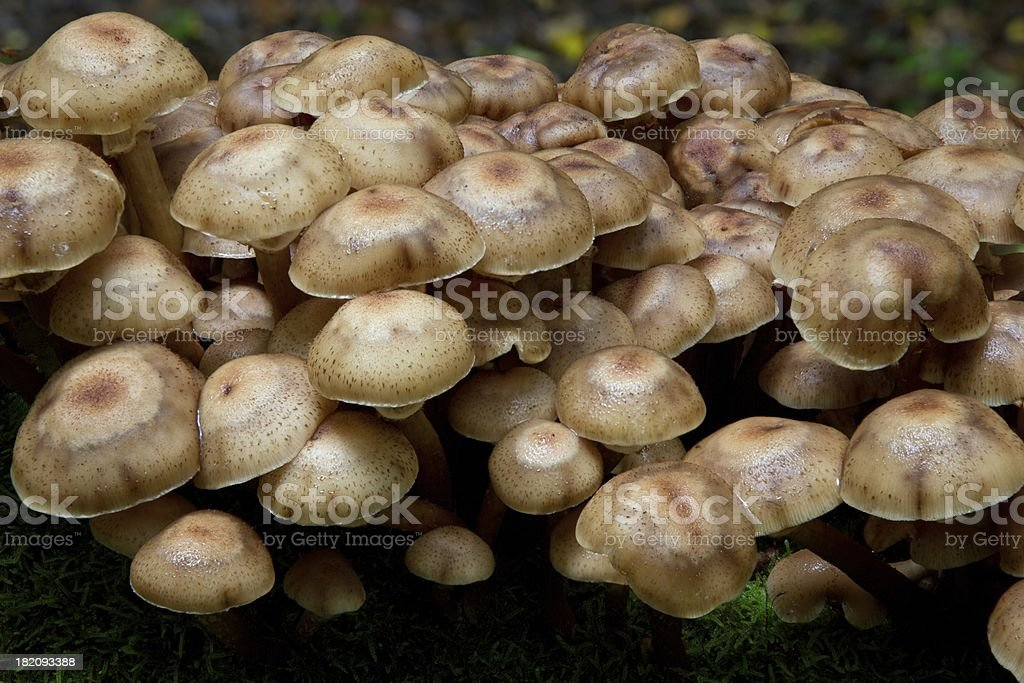 Bunch of autumnal Honey Fungus stock photo