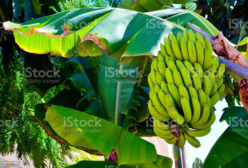 Cacho de bananas crescente de bananeira. - foto de acervo